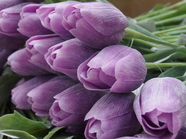 Právě dorazila nová kolekce tulipánů